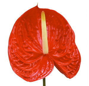 Anthurium Nac. Tropical x12