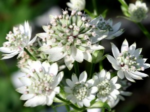 Astrantia Billion Star 40cm x10 Blanco