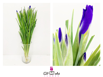 Iris Hol. Blue Magic 60cm Az