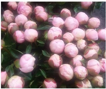 Peonia Angel Cheeks 55cm Rs x5 tall