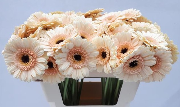 Gerbera Mini Hol. Cafe x20 Cr (7 Dias-2ª)