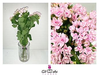 Bouvardia Hol. Doble Diamant Light Pink 60cm