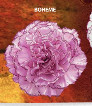 Clavel Fancy Boheme x20