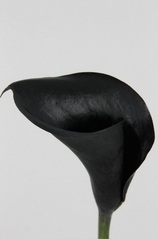 Calla Black Diamond 55cm Neg.