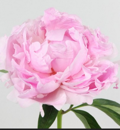 Peonia Hol. pink Giant 45cm Rosa x5